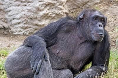 Chimp Laying Around